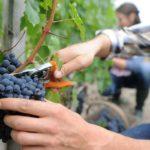 Northern Italy Vineyard Tour